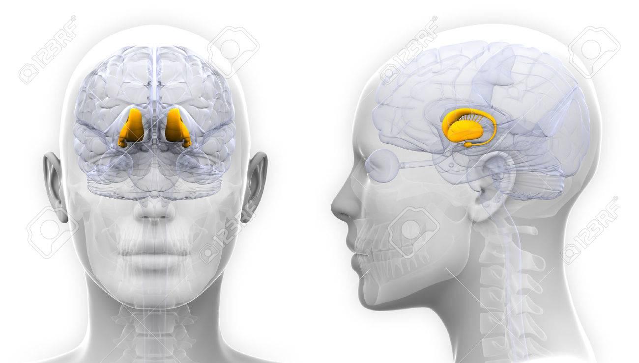 Female Thalamus Gehirn-Anatomie - Isoliert Auf Weißem Lizenzfreie ...