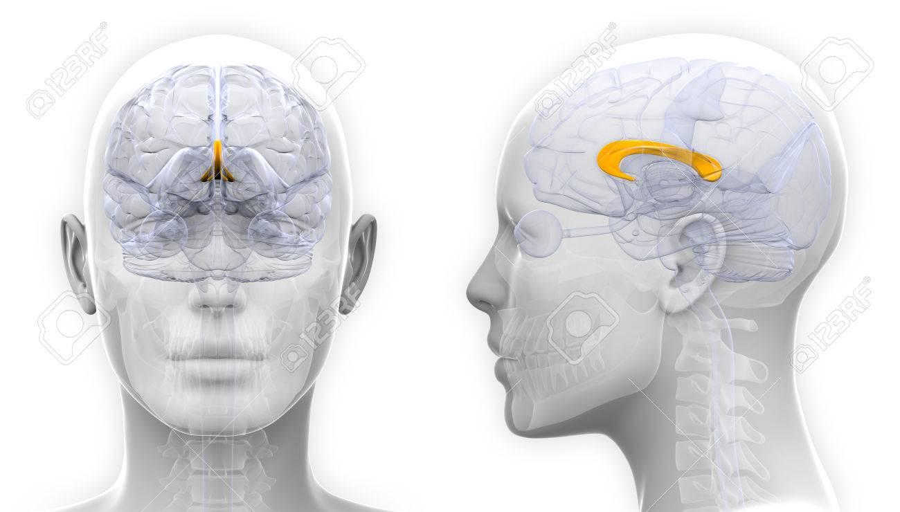 Female Corpus Callosum Brain Anatomy Isolated On White Stock Photo