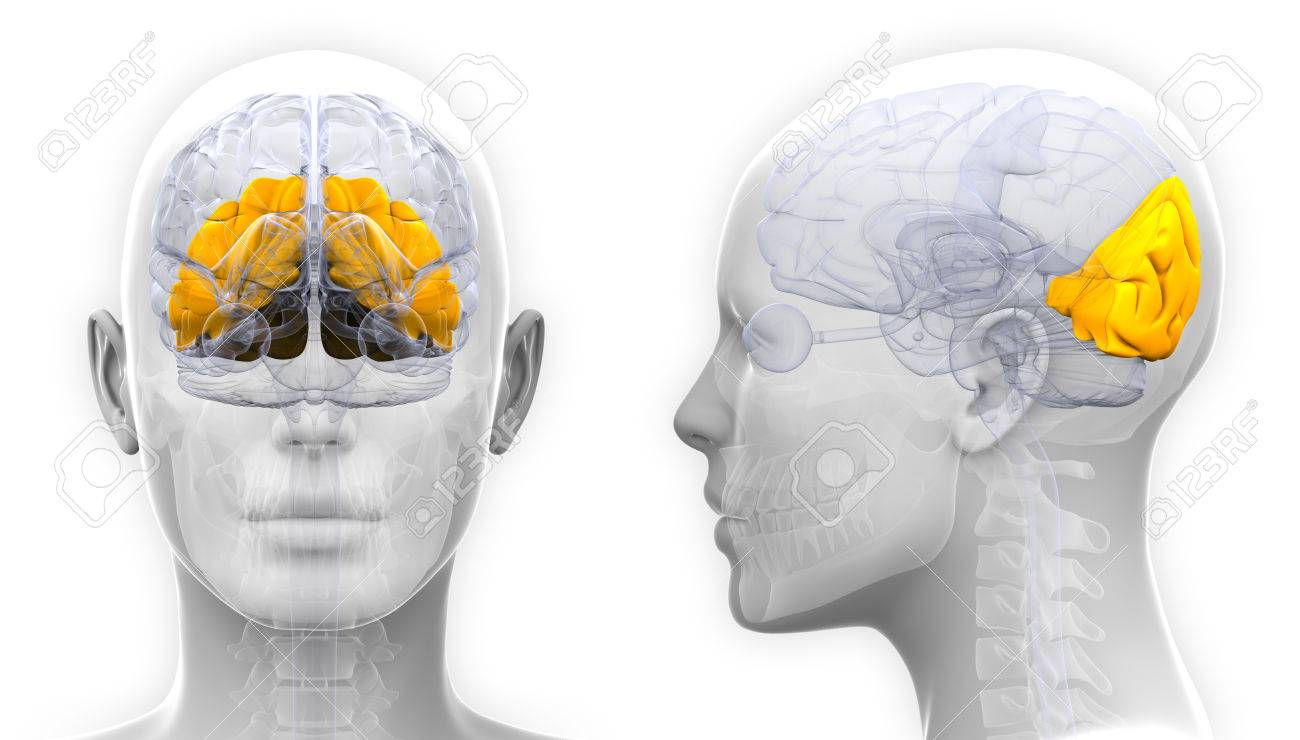 Female Occipital Lobe Brain Anatomy - Isolated On White Stock Photo ...