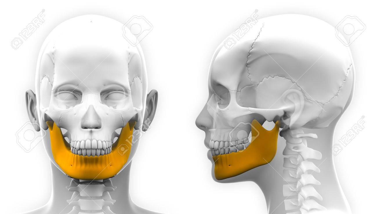 Mujer Mandíbula Hueso Cráneo Anatomía - Aislado En Blanco Fotos ...