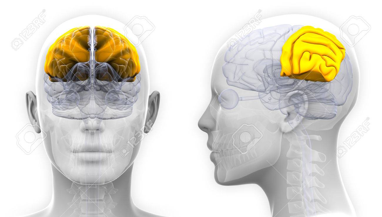 Female Parietal Lobe Brain Anatomy - Isolated On White Stock Photo ...