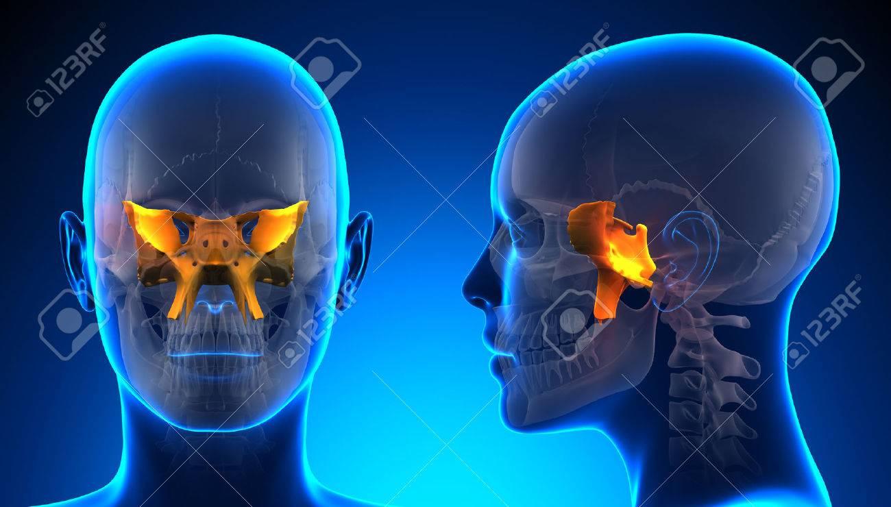 Mujer Esfenoidal Cráneo Anatomía - Azul Concepto Fotos, Retratos ...