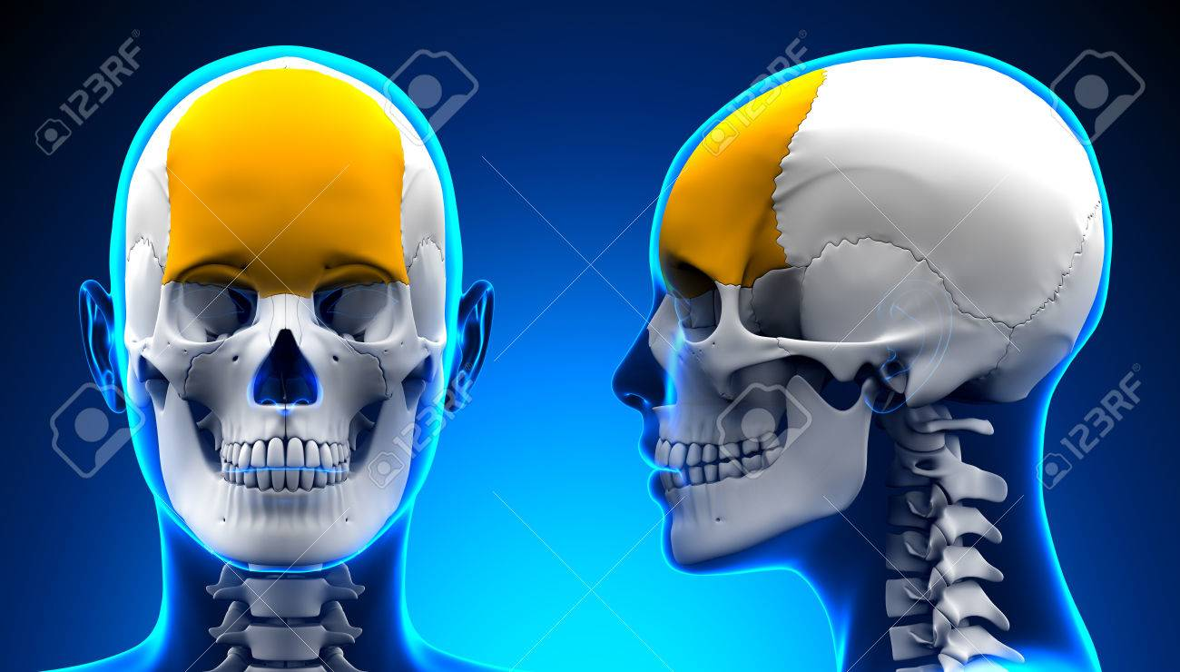 Female Frontal Bone Skull Anatomy - Blue Concept Stock Photo ...