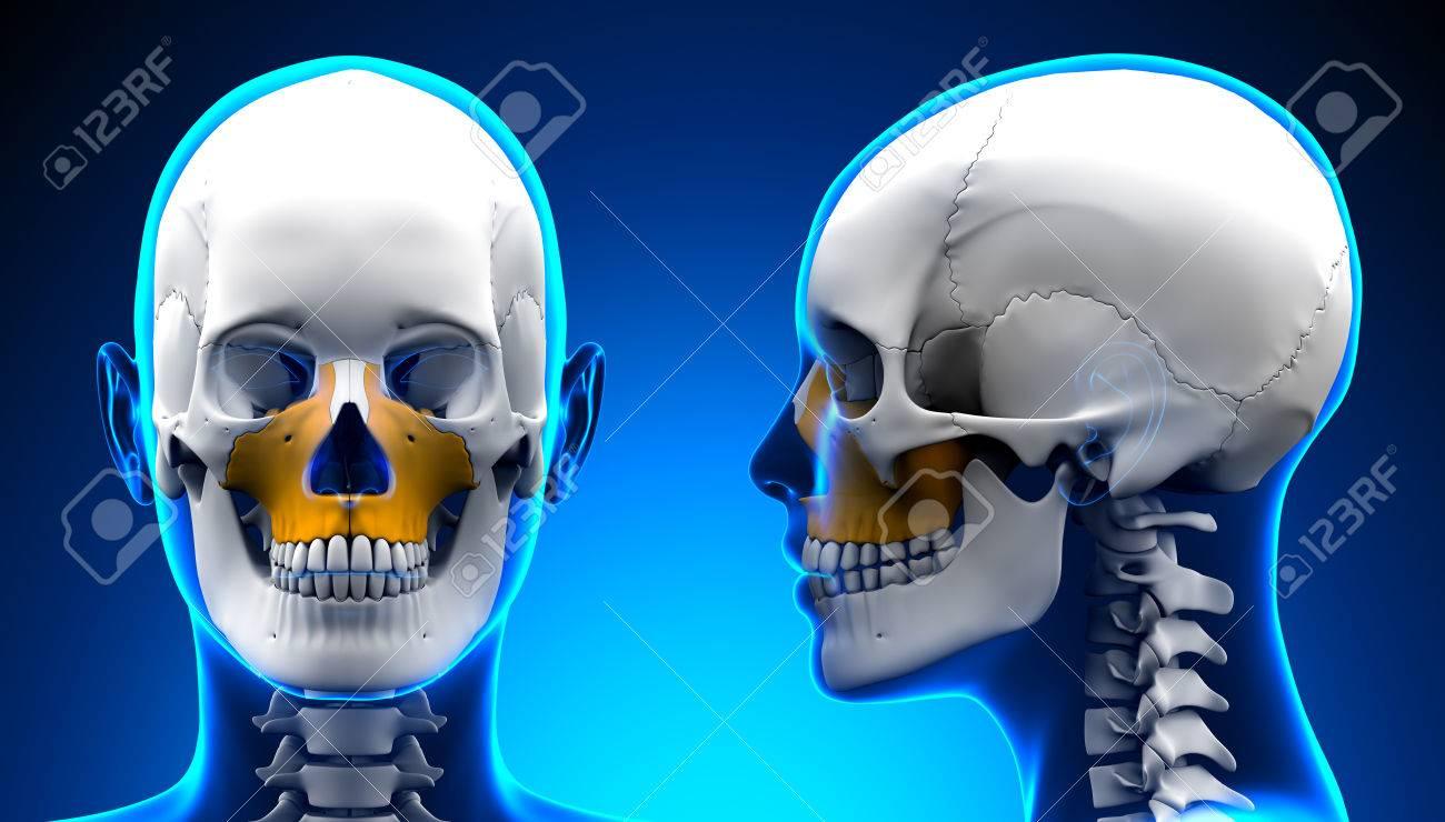 Mujer Maxilar Hueso Cráneo Anatomía - Azul Concepto Fotos, Retratos ...