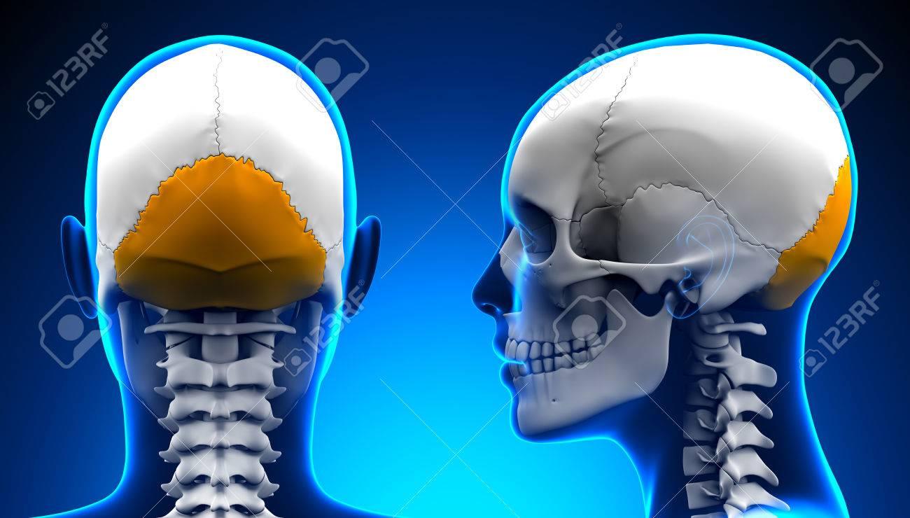 Female Occipital Bone Skull Anatomy - Blue Concept Stock Photo ...