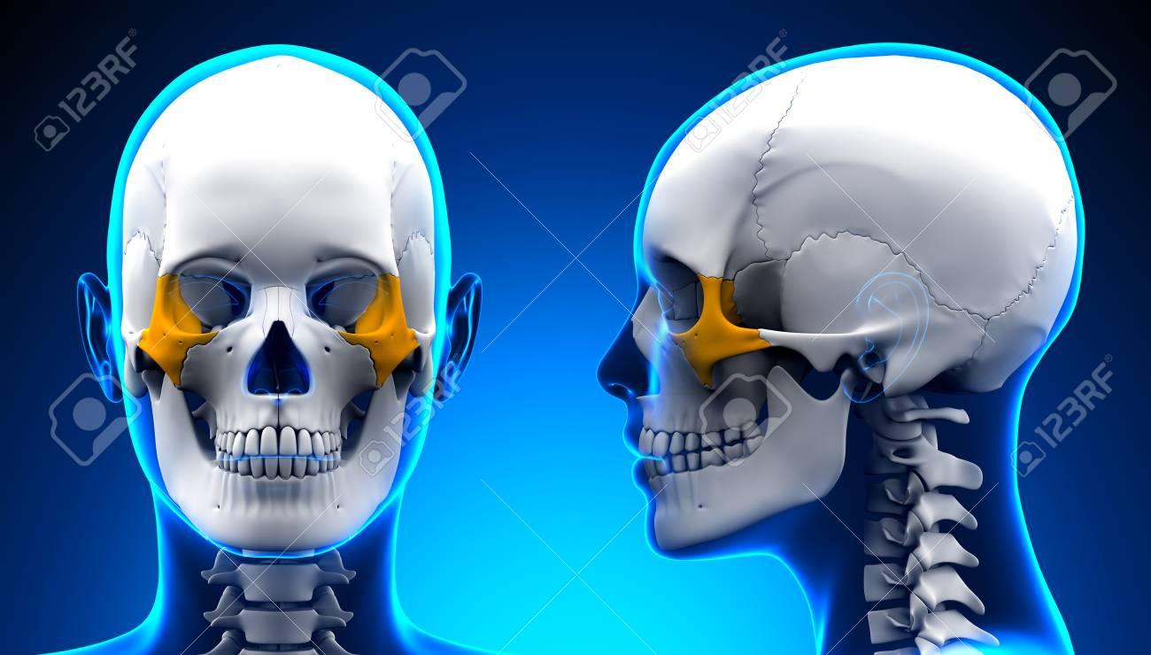 Female Zygomatic Bone Skull Anatomy - Blue Concept Stock Photo ...