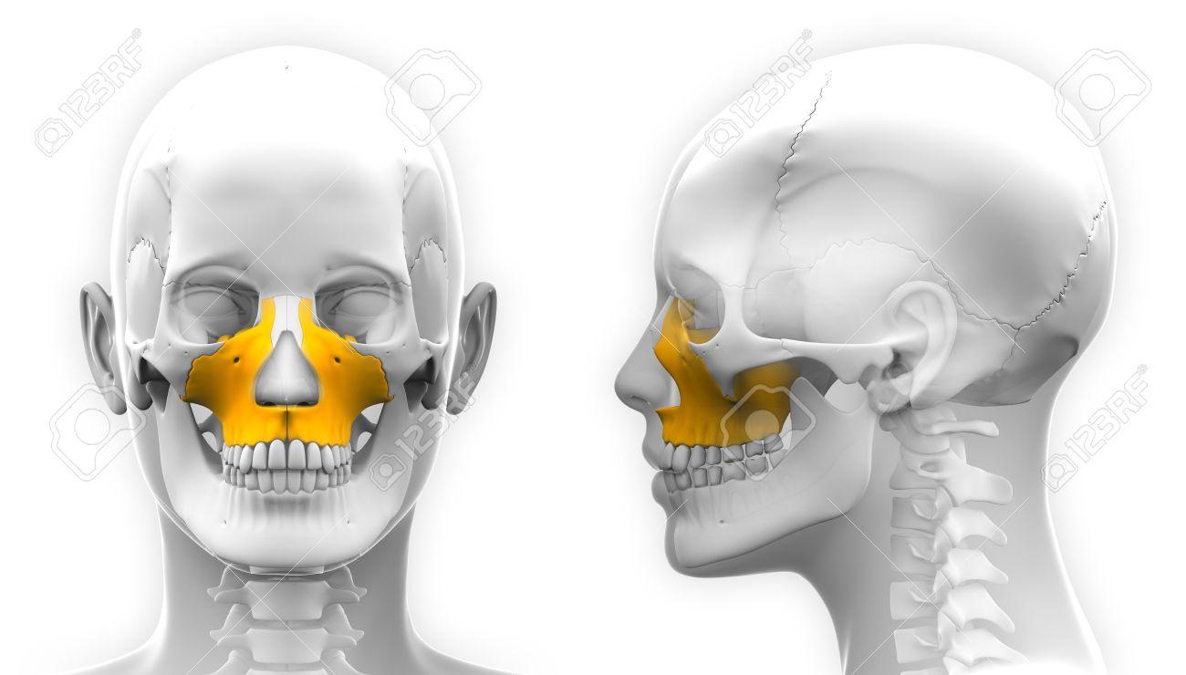 Mujer Maxilar Hueso Cráneo Anatomía - Aislado En Blanco Fotos ...