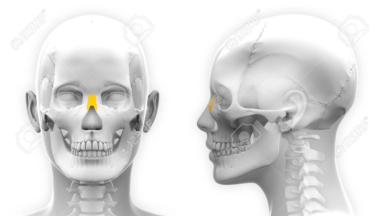 Weiblich Nasen Knochen-Schädel Anatomie - Isoliert Auf Weiß ...