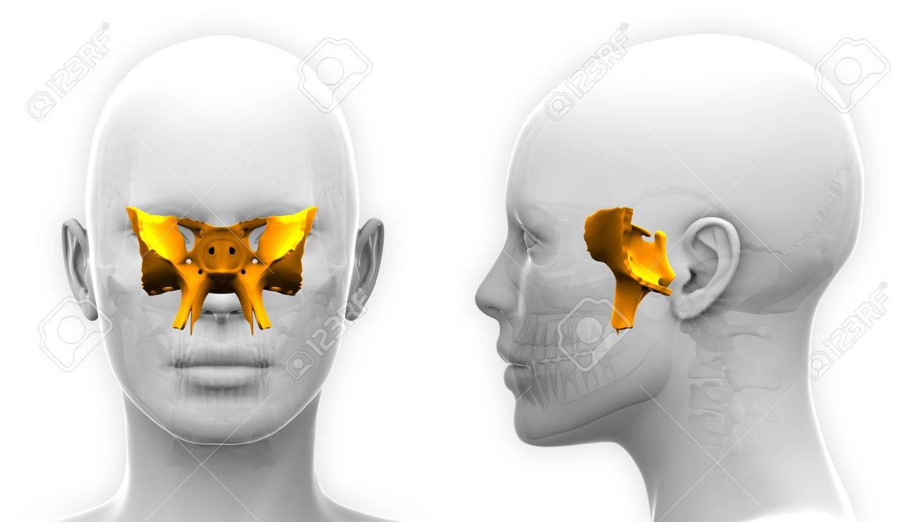 Mujer Esfenoidal Cráneo Anatomía - Aislado En Blanco Fotos, Retratos ...
