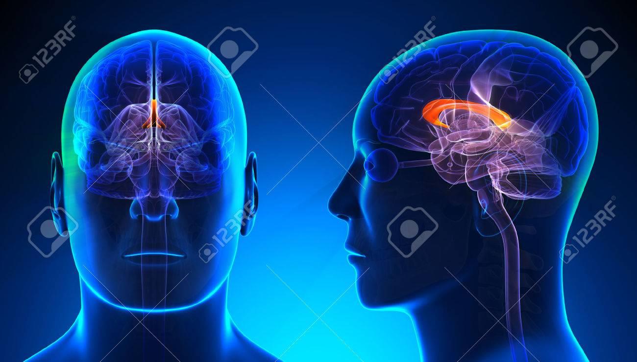 Male Corpus Callosum Brain Anatomy - Blue Concept Stock Photo ...