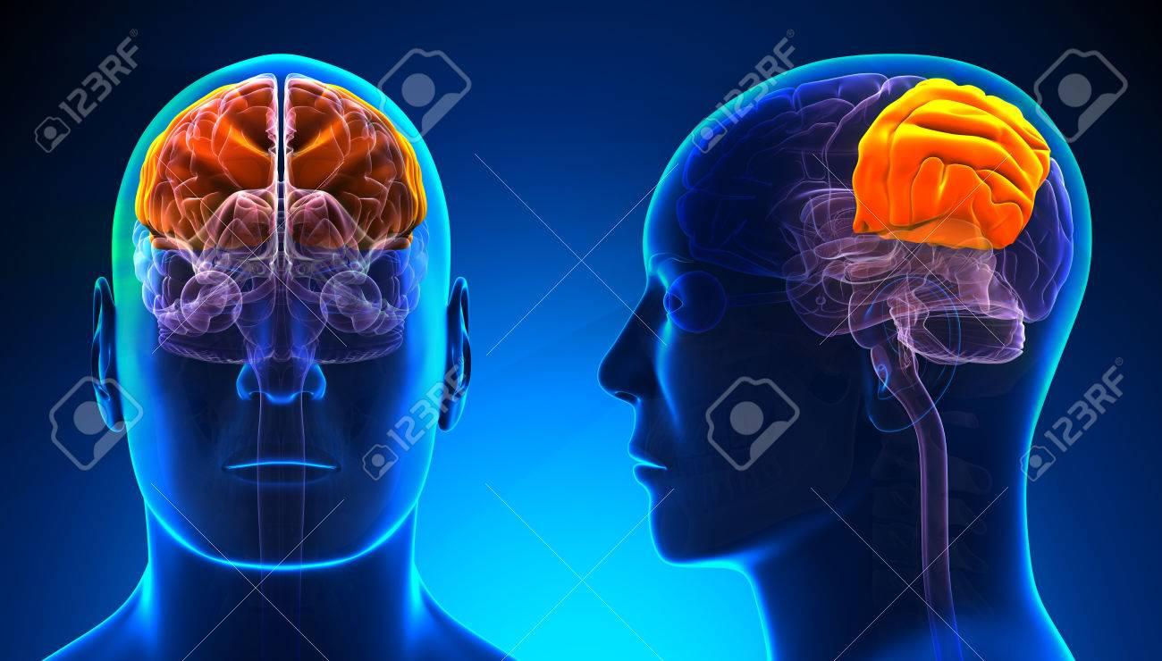 Male Parietal Lobe Brain Anatomy Blue Concept Stock Photo Picture
