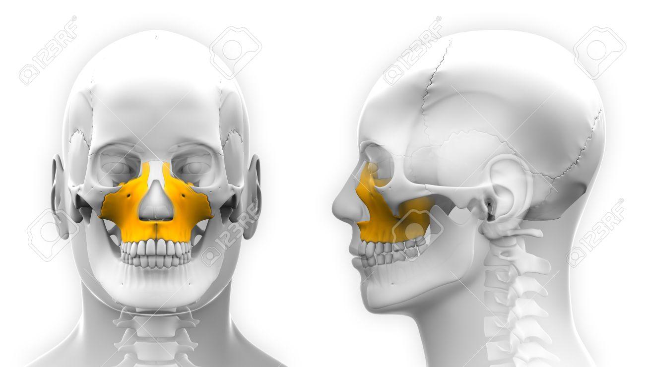 Male Maxilla Bone Skull Anatomy Isolated On White Stock Photo
