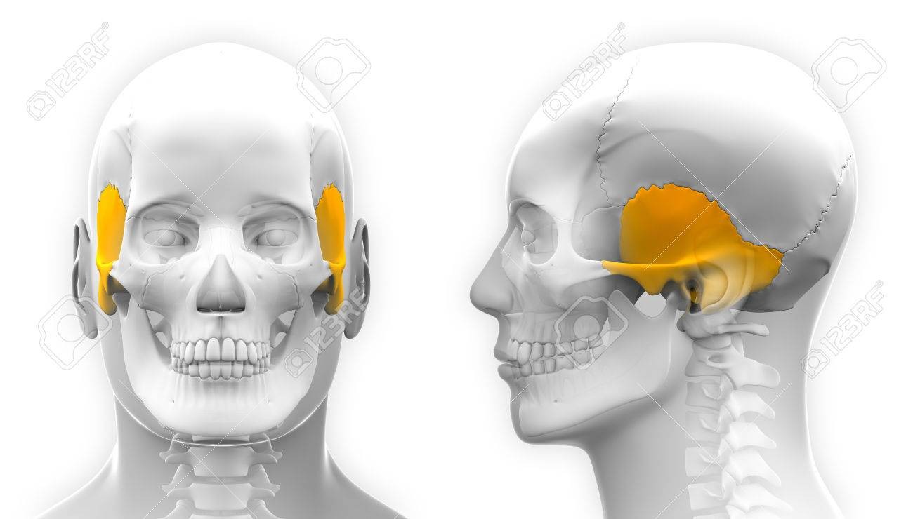 Male Temporal Bone Skull Anatomy - Isolated On White Stock Photo ...