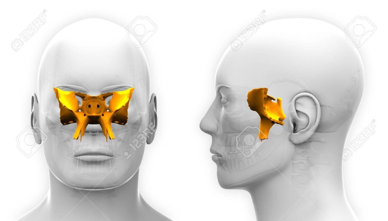 Hombre Esfenoidal Cráneo Anatomía - Aislado En Blanco Fotos ...