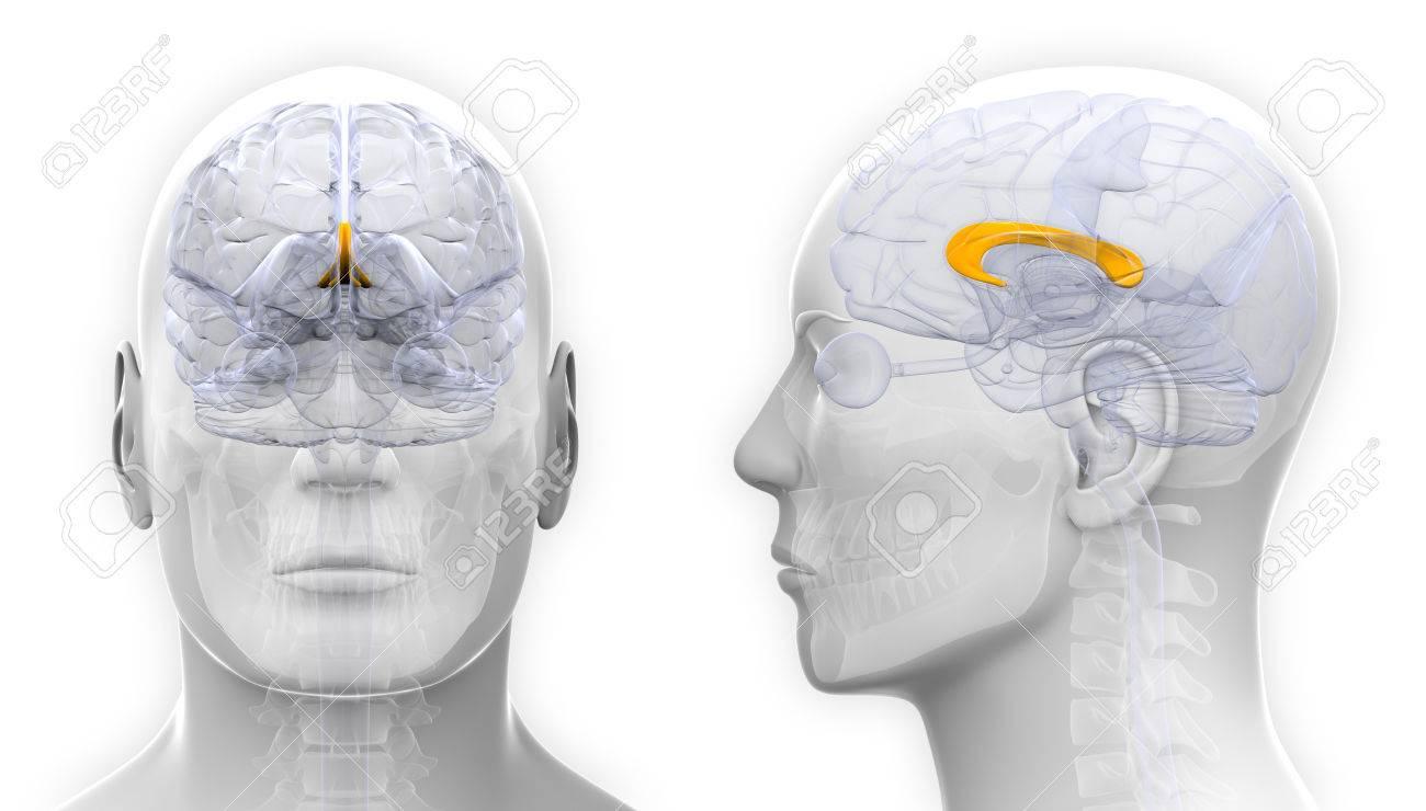 Male Corpus Callosum Brain Anatomy Isolated On White Stock Photo