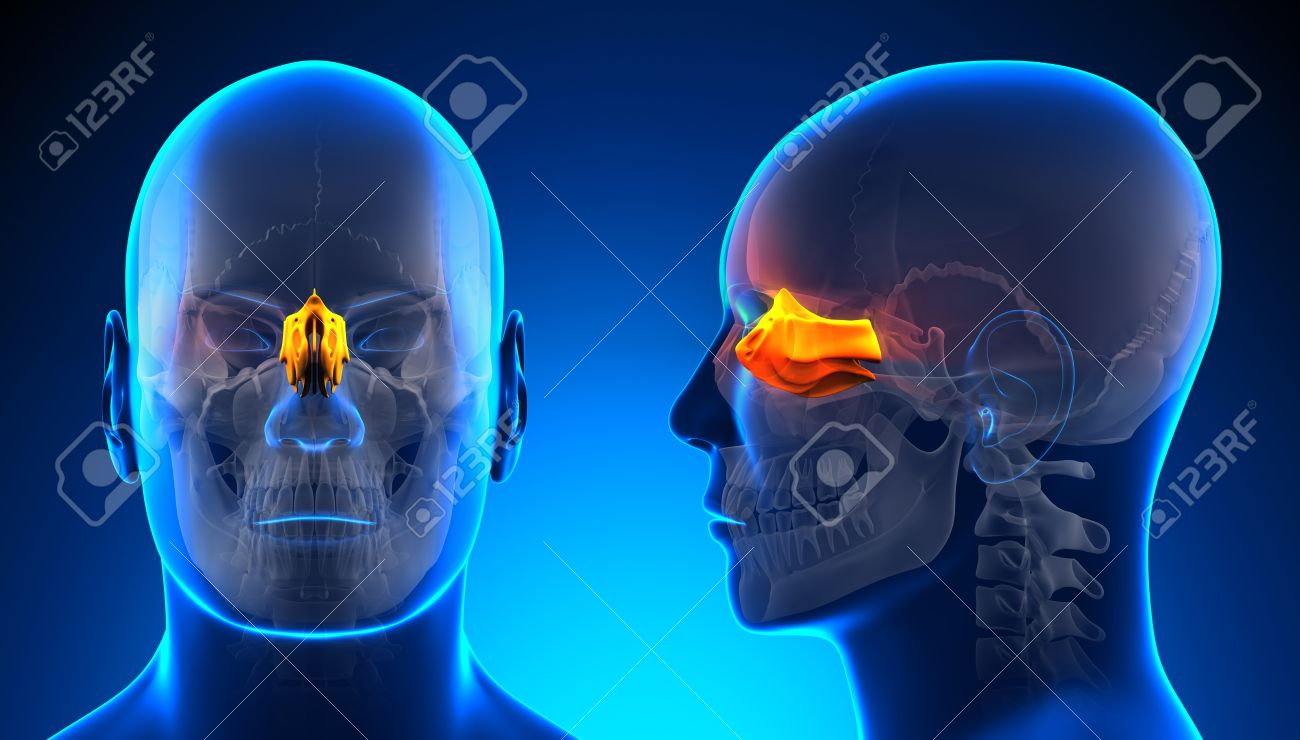 Männlich Ethmoid Schädel Anatomy - Blau-Konzept Lizenzfreie Fotos ...