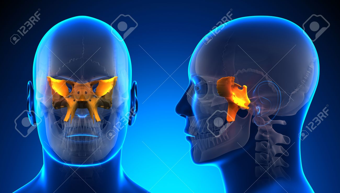 Hombre Esfenoidal Cráneo Anatomía - Azul Concepto Fotos, Retratos ...