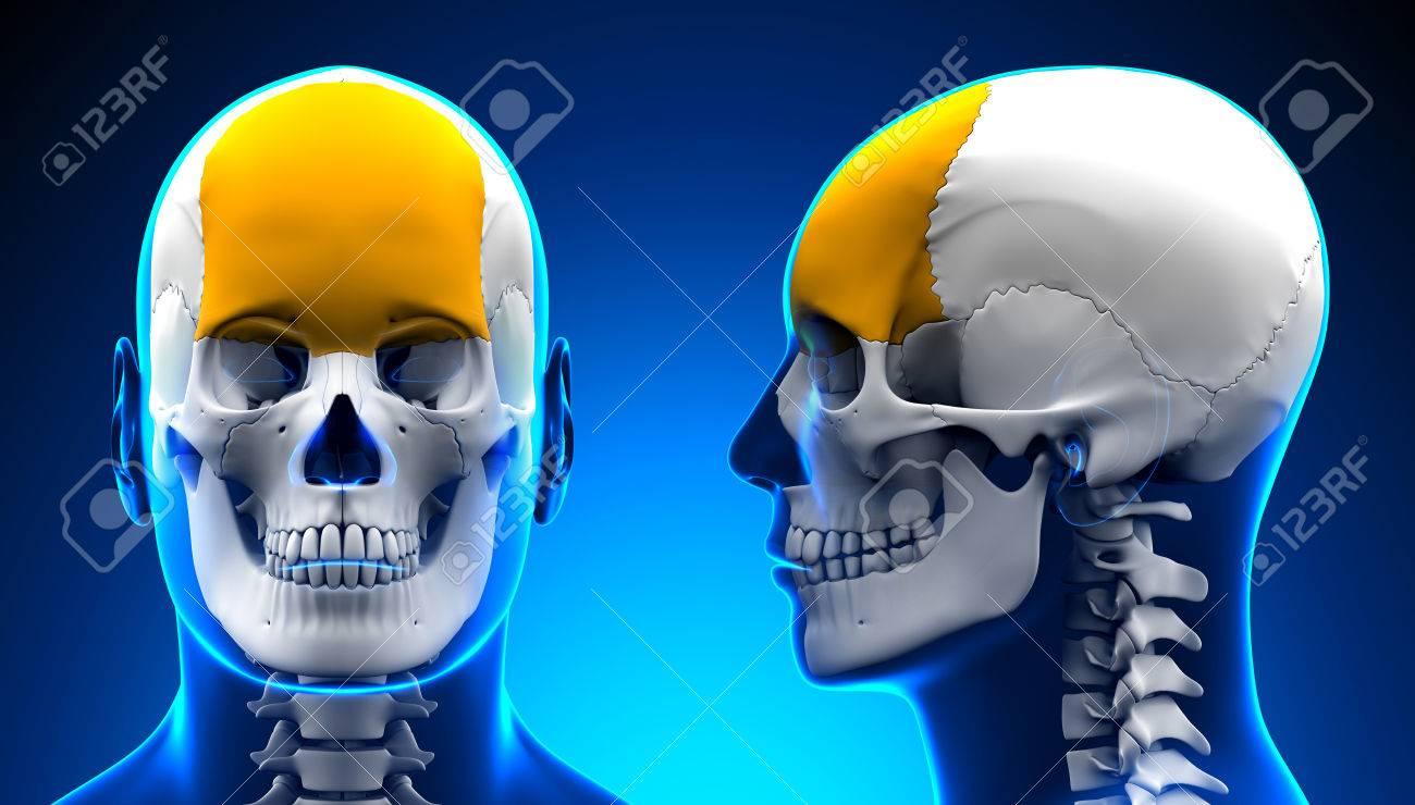 Männlich Stirnbein Schädel Anatomie - Blau-Konzept Lizenzfreie Fotos ...