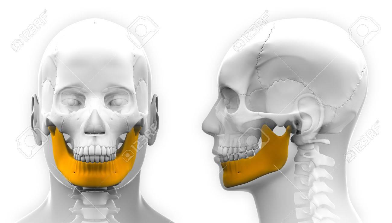 Schön Jochbein Anatomie Fotos - Anatomie von Menschlichen Bildernet ...