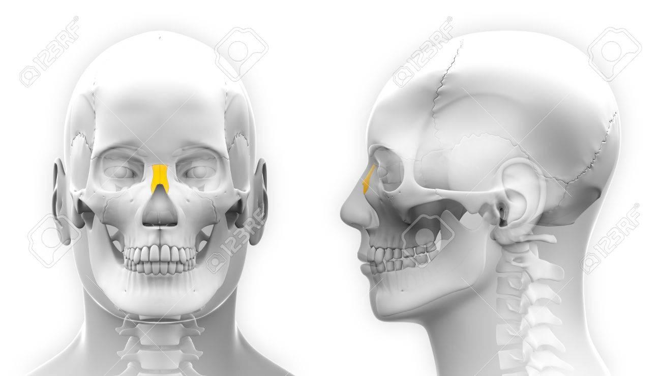 Hombre Nasal Del Hueso Del Cráneo De Anatomía - Aislado En Blanco ...