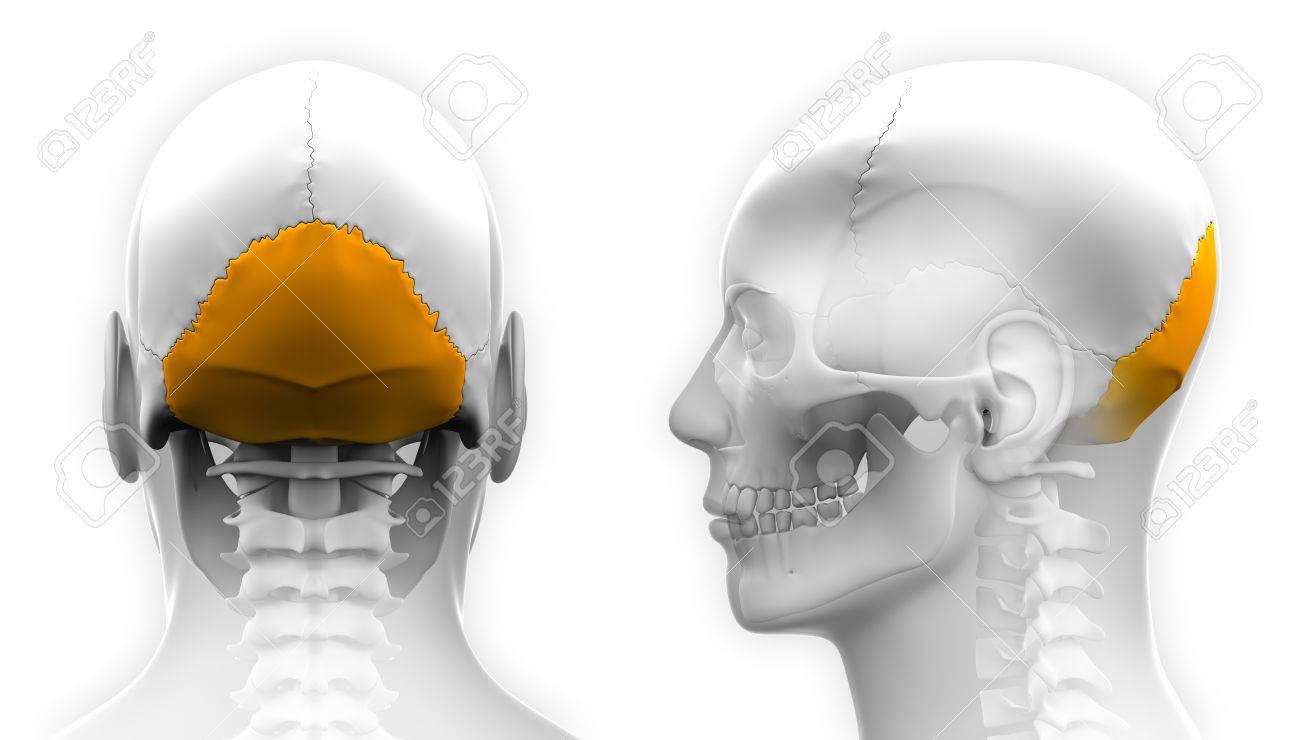 Hombre Hueso Occipital Del Cráneo De Anatomía - Aislado En Blanco ...