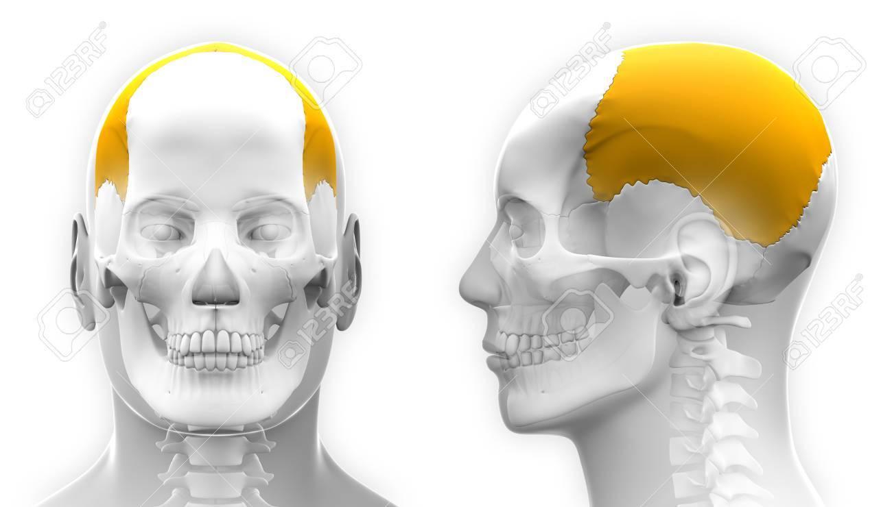 Male Parietal Bone Skull Anatomy Isolated On White Stock Photo