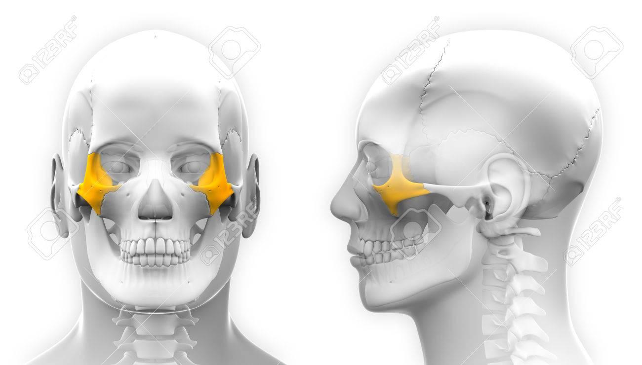 Male Zygomatic Bone Skull Anatomy - Isolated On White Stock Photo ...