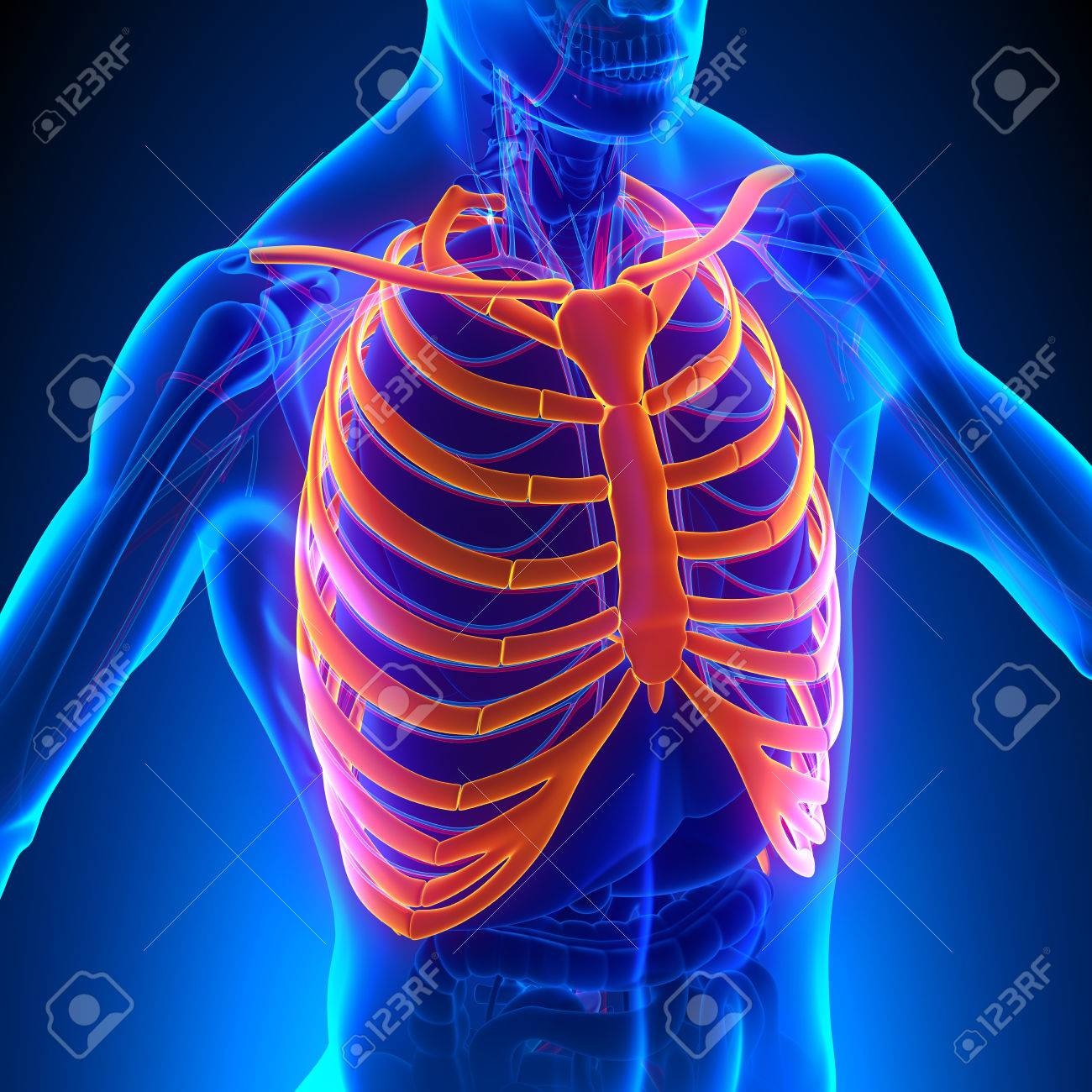 Rib Cage Anatomy Bones With Circulatory System Stock Photo, Picture ...