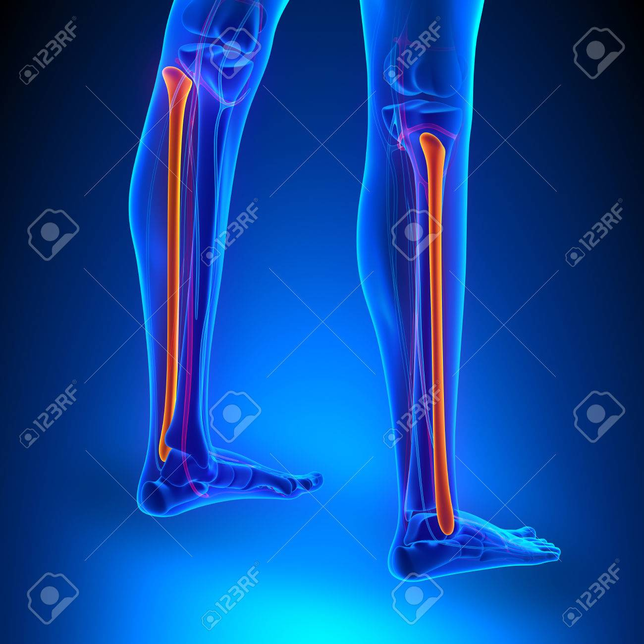 Fibula Bone Anatomy With Circulatory System Stock Photo, Picture And ...