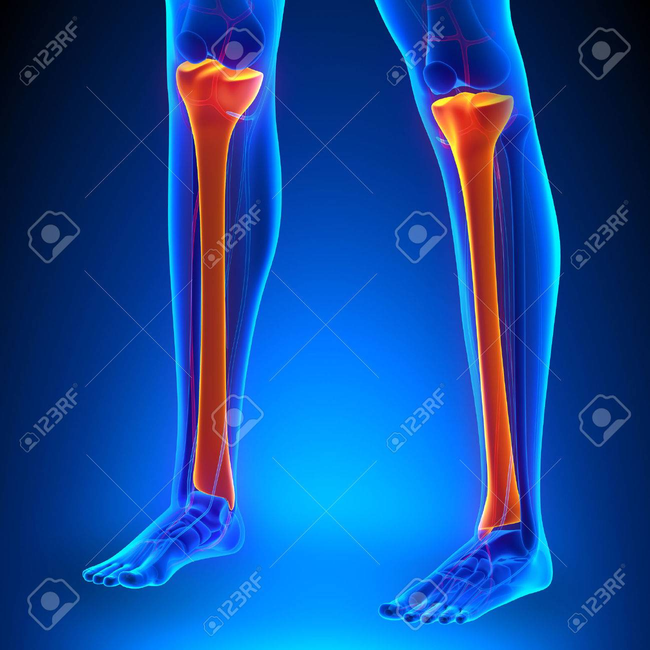 Tibia Anatomy Bones With Ciculatory System Stock Photo, Picture And ...