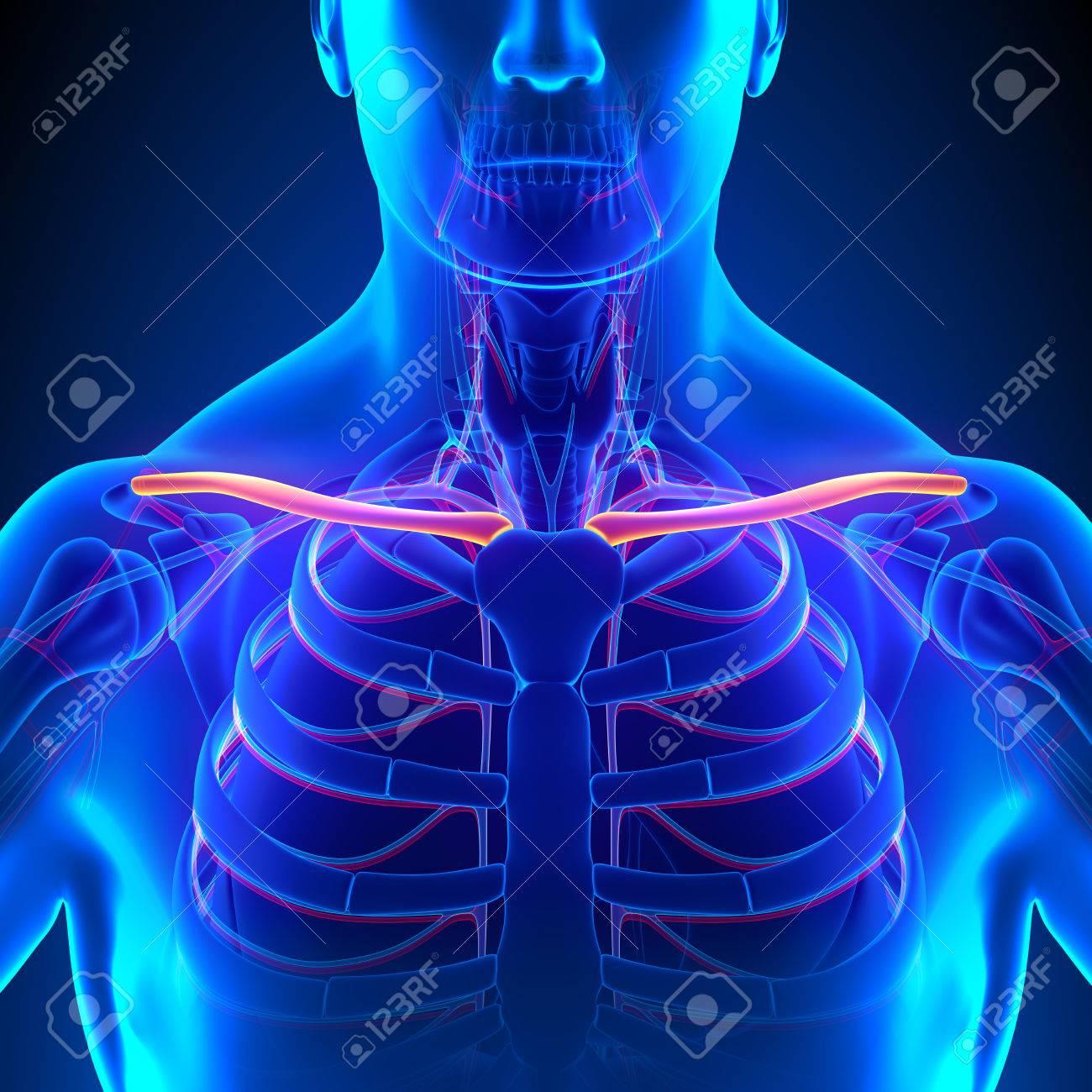 Clavícula Hueso Anatomía Con El Sistema Circulatorio Fotos, Retratos ...
