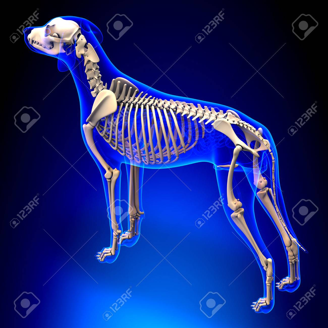 Dog Skeleton Canis Lupus Familiaris Anatomy Perspective View