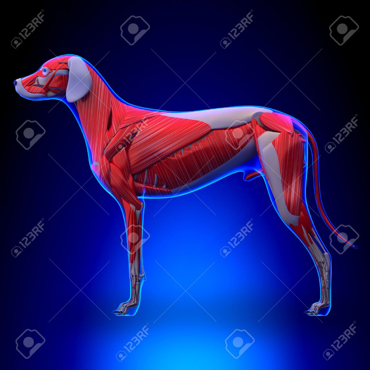 Dog Muscles Anatomy - Muscular System Of The Dog Stock Photo ...