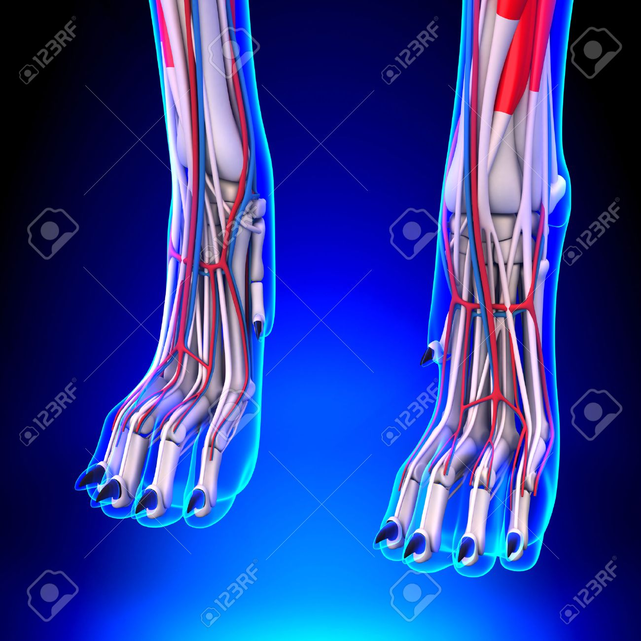 Dog Front Legs Anatomy With Circulatory System Stock Photo, Picture ...