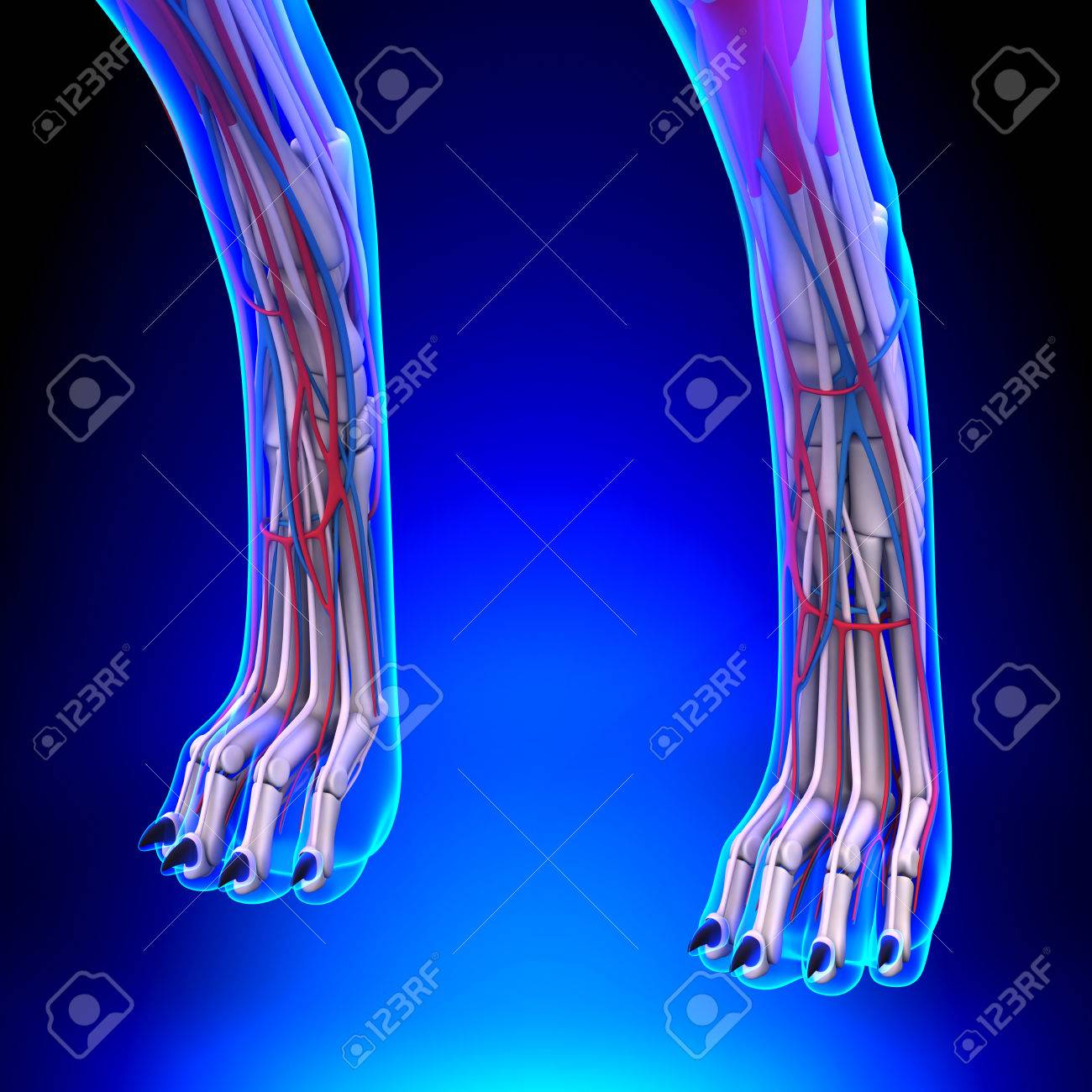 Dog Hind Legs Anatomy With Circulatory System Stock Photo, Picture ...