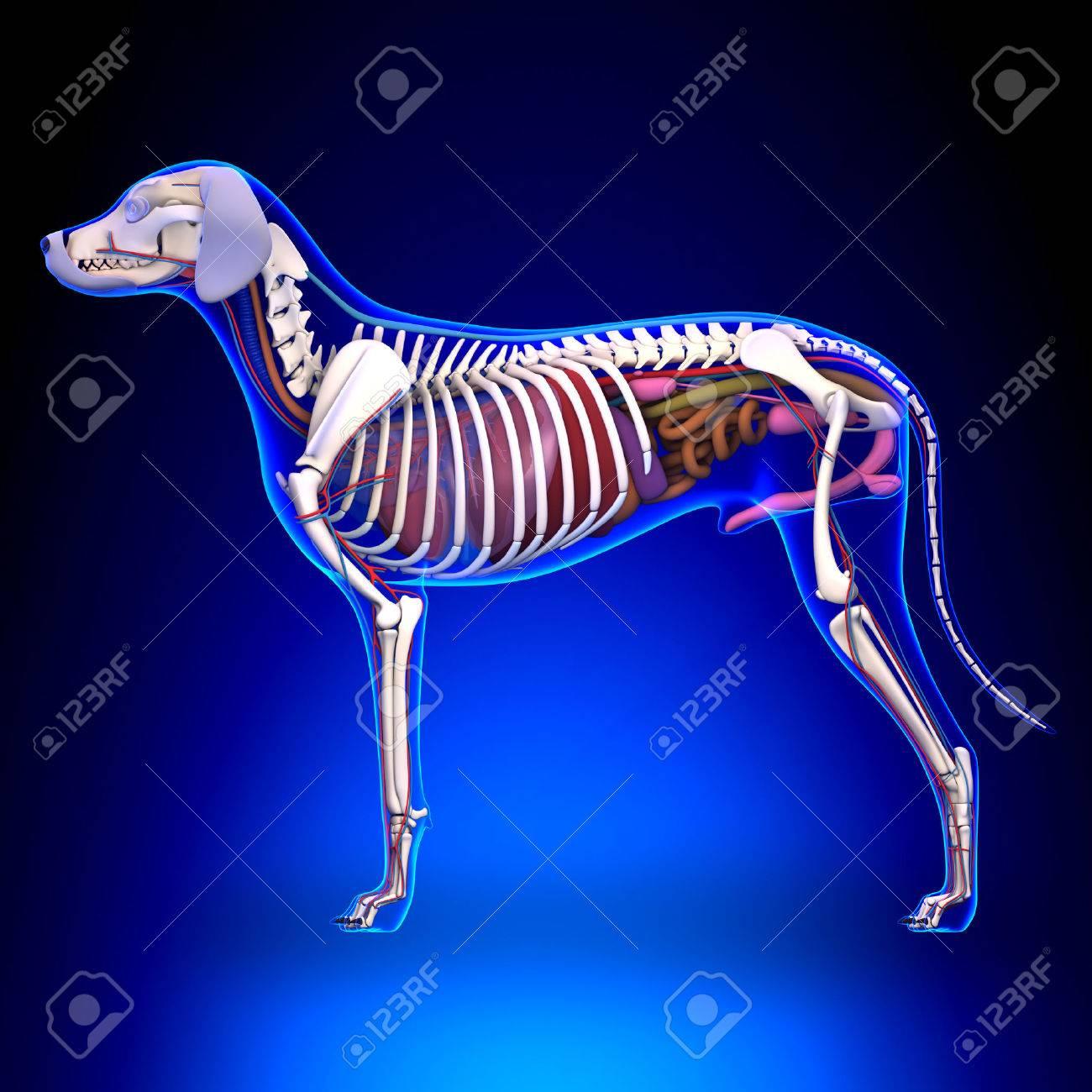 Dog Internal Organs Anatomy - Anatomy Of A Male Dog Internal.. Stock ...