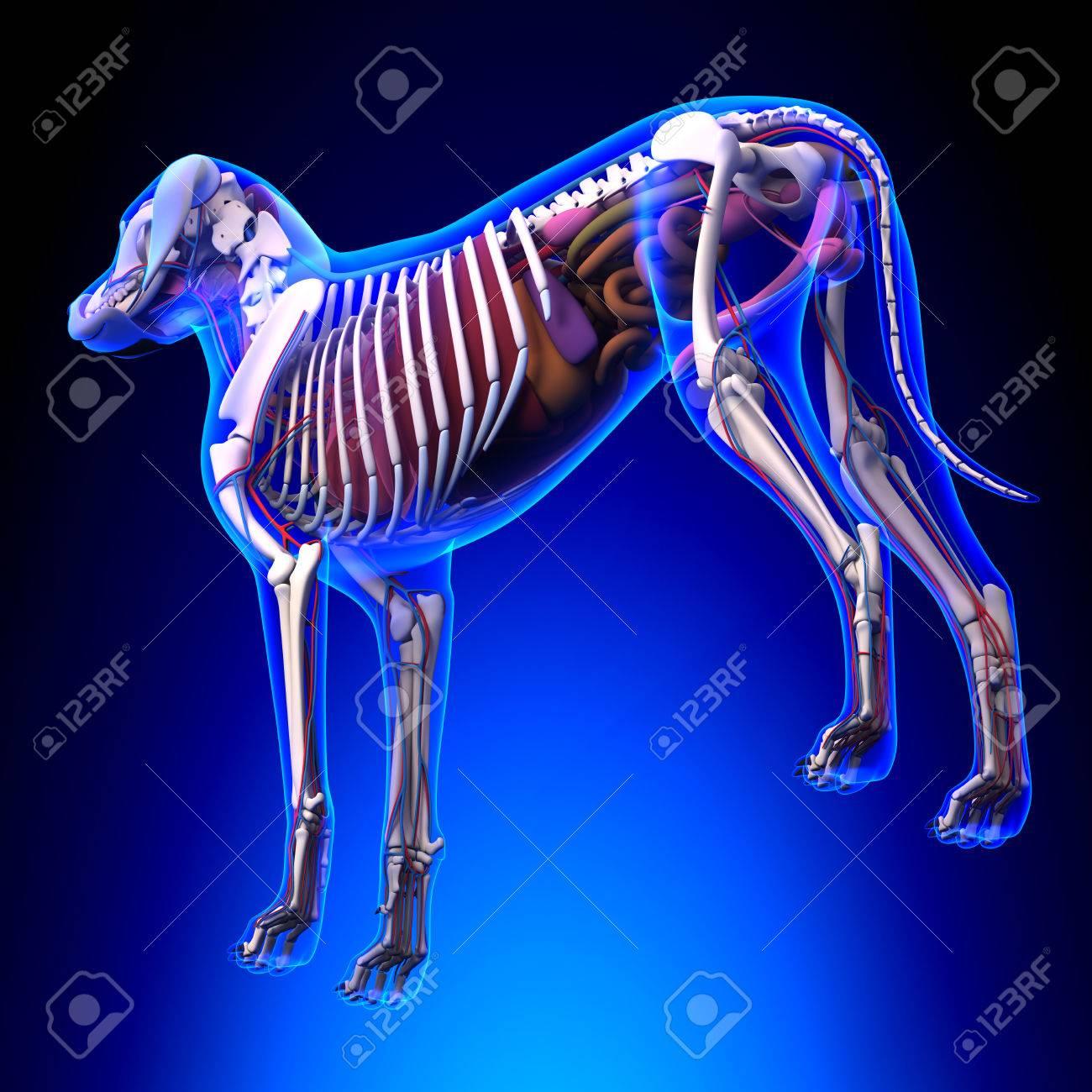 Dog Internal Organs Anatomy Anatomy Of A Male Dog Internal Stock