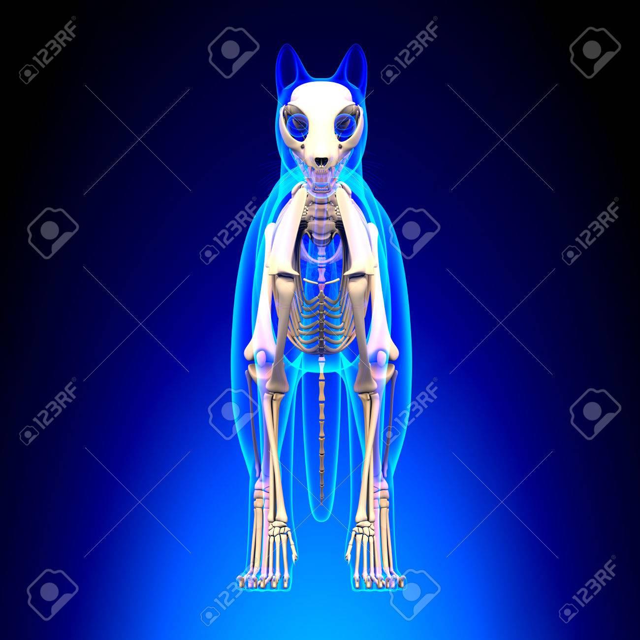 Anatomía Gato Esqueleto Fotos, Retratos, Imágenes Y Fotografía De ...