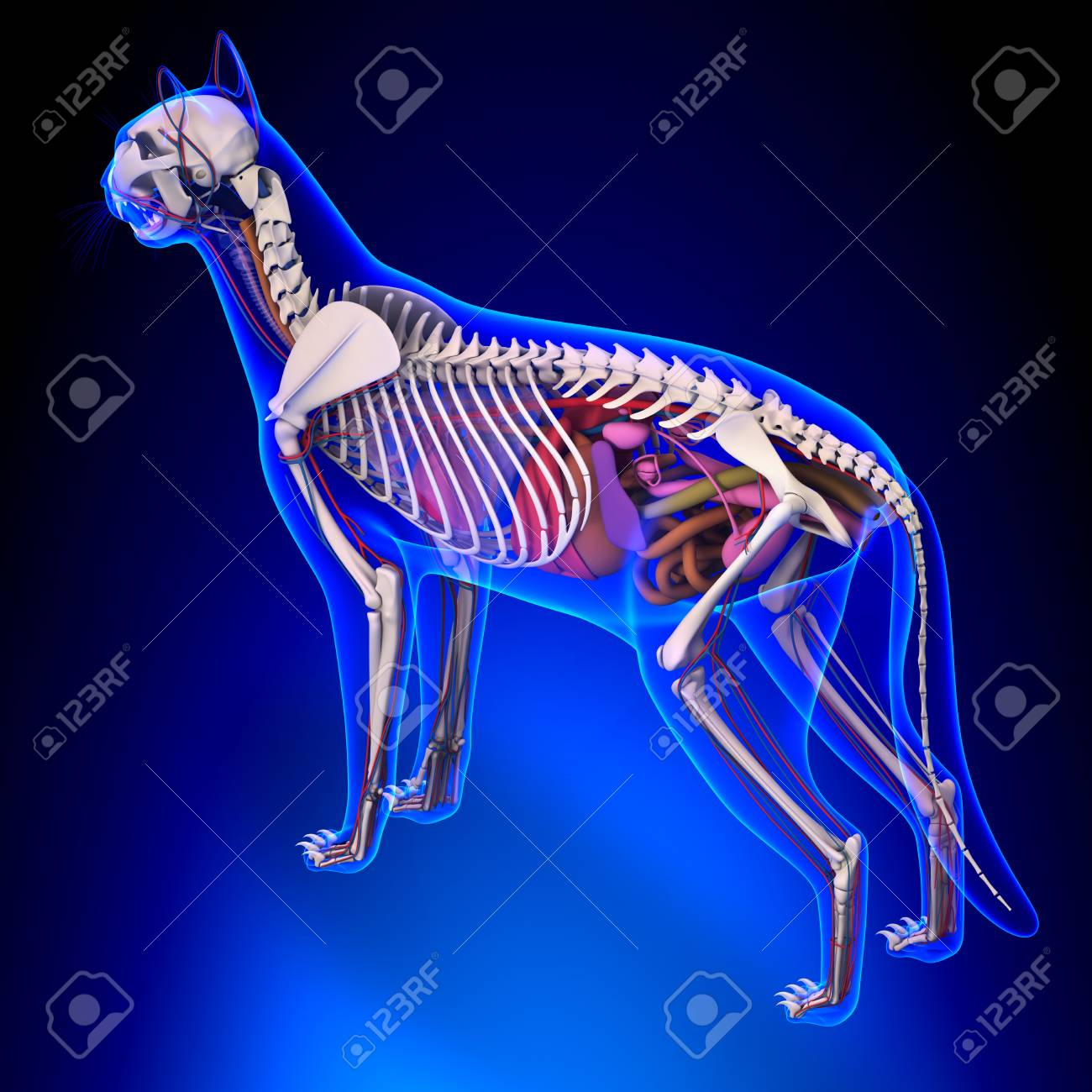 Cat Anatomy - Internal Anatomy Of A Cat Stock Photo, Picture And ...