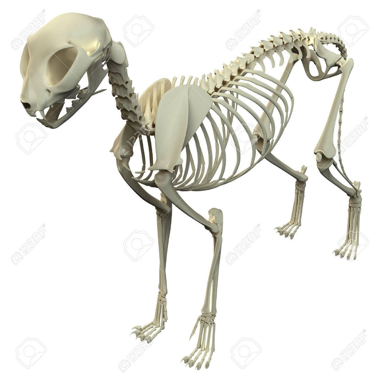 Cat Skeleton Anatomy - Anatomy Of A Cat Skeleton Stock Photo ...