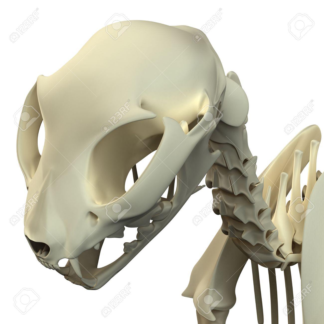 Cat Skull Anatomy - Anatomy Of A Cat Cranium Stock Photo, Picture ...