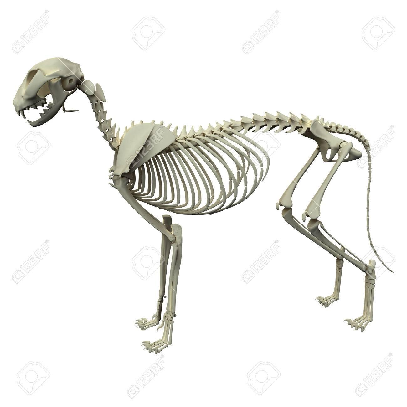 Dog Skeleton Anatomy - Anatomy Of A Male Dog Skeleton Stock Photo ...