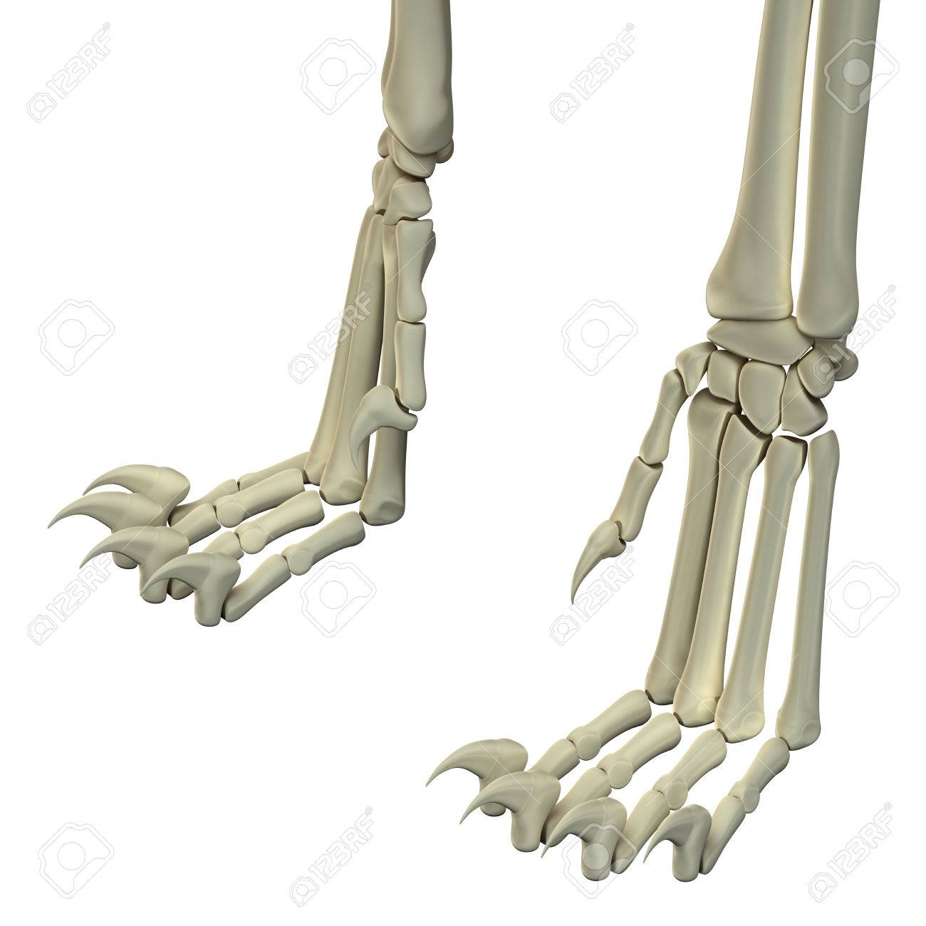 Cat Hind Legs Anatomy Bones Stock Photo, Picture And Royalty Free ...