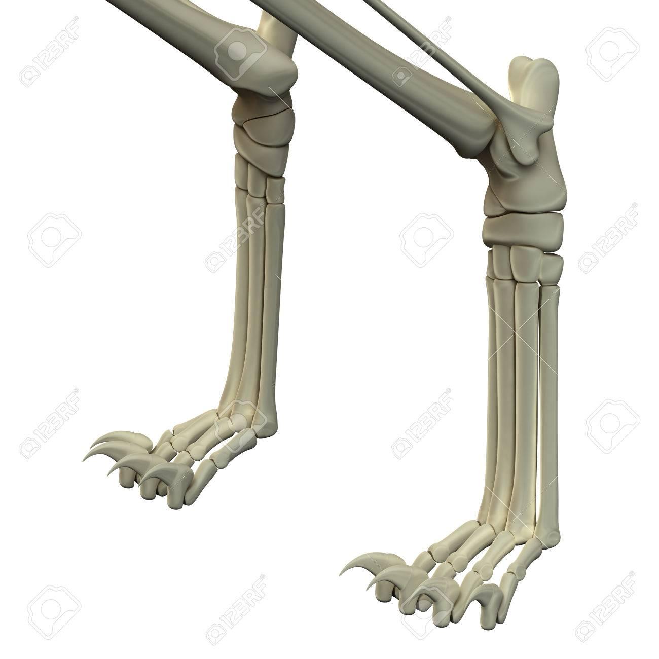 Gato Patas Delanteras Anatomía Huesos Fotos, Retratos, Imágenes Y ...