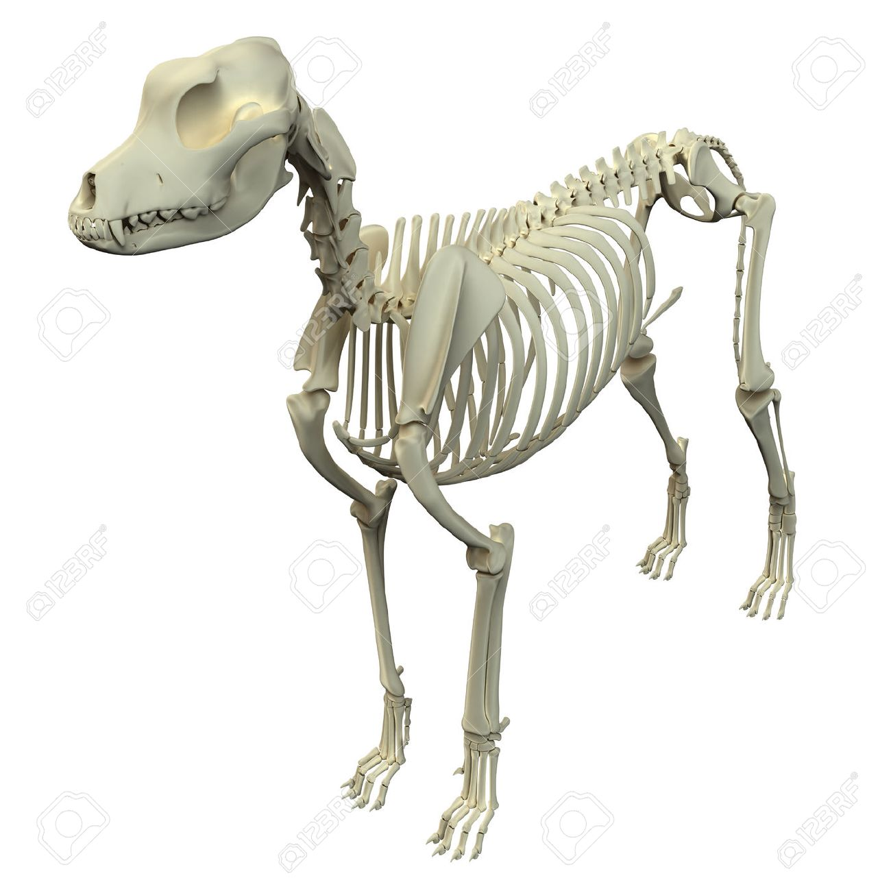 Dog Skeleton Anatomy Stock Photo, Picture And Royalty Free Image ...