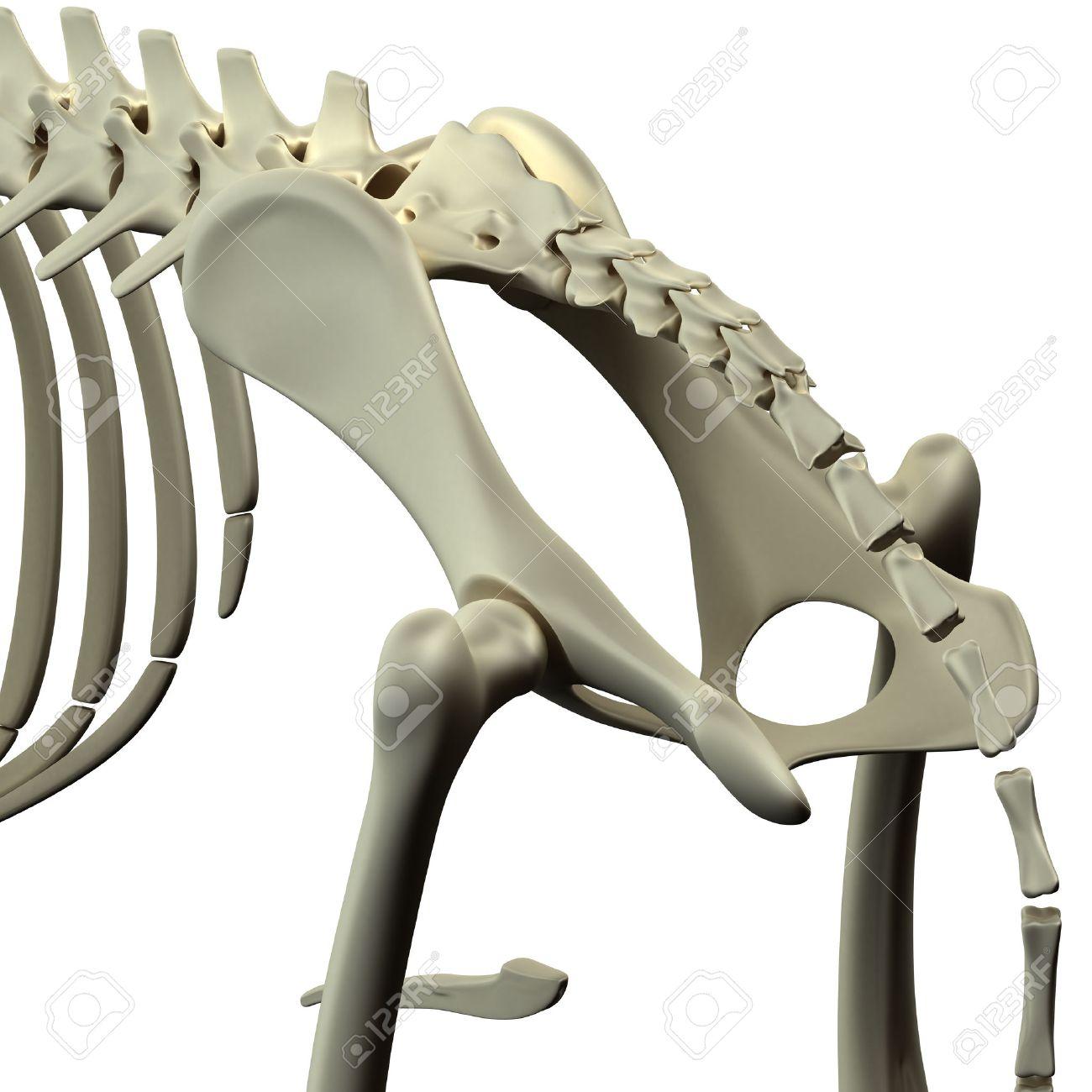 Dog Pelvis Hip Anatomy - Anatomy Of A Canine Pelvis Hip Stock Photo ...