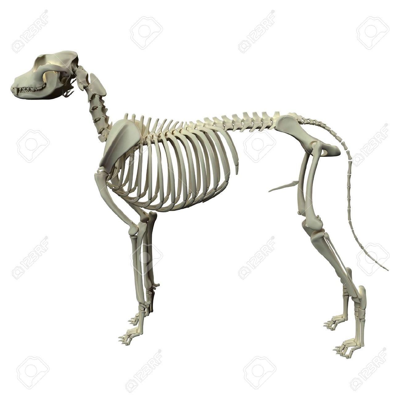 Perro Esqueleto Anatomía - Anatomía De Un Perro Esqueleto Masculino ...