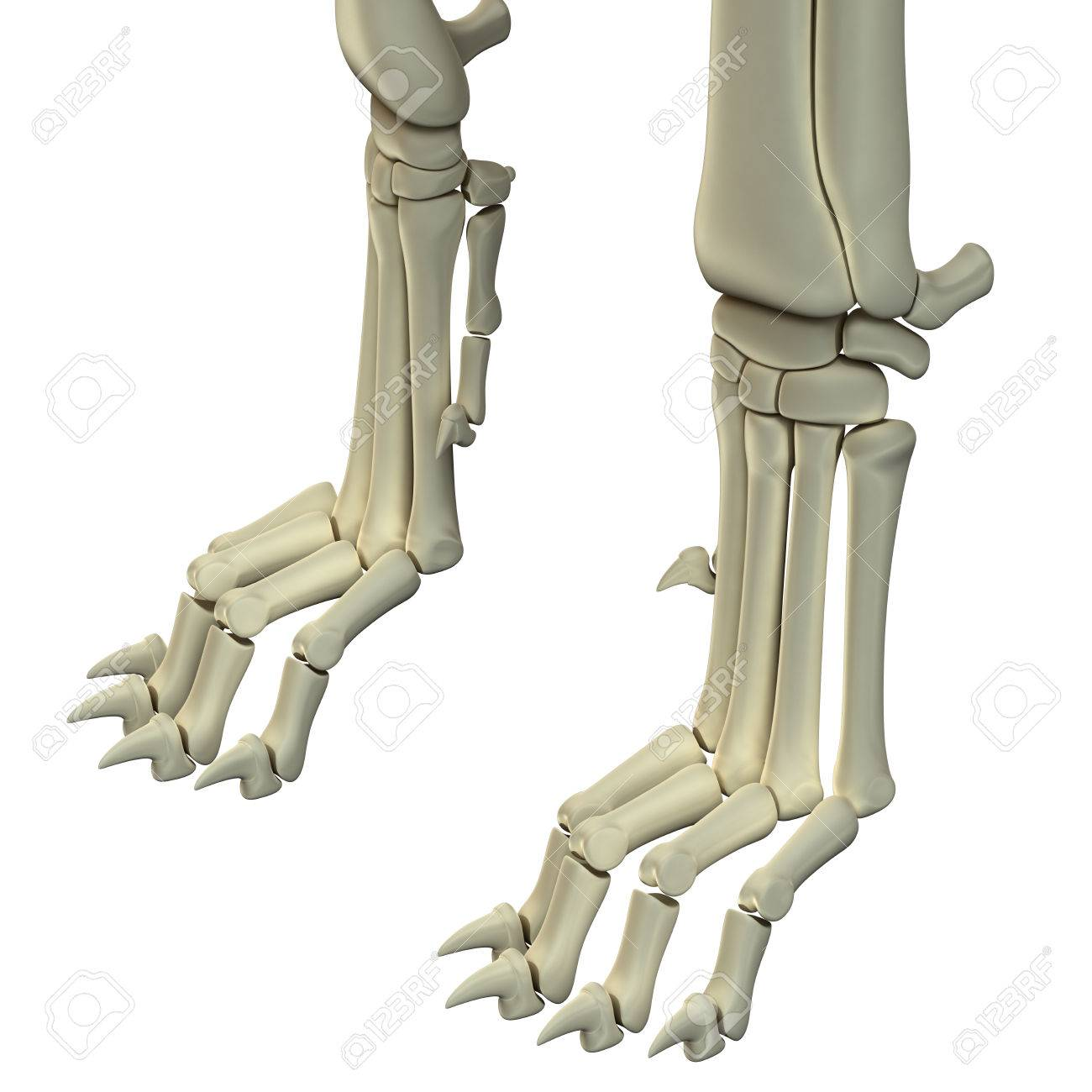 Dog Hind Legs Anatomy Bones Stock Photo, Picture And Royalty Free ...