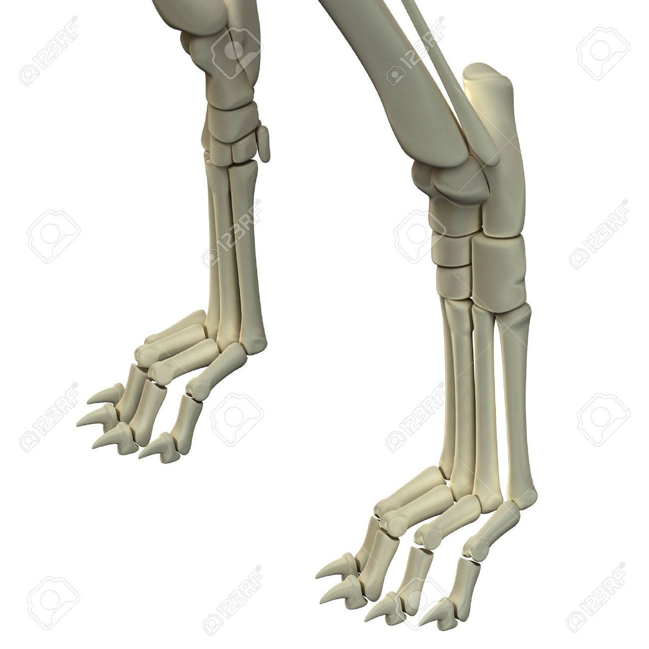 Dog Front Legs Anatomy Bones Stock Photo, Picture And Royalty Free ...