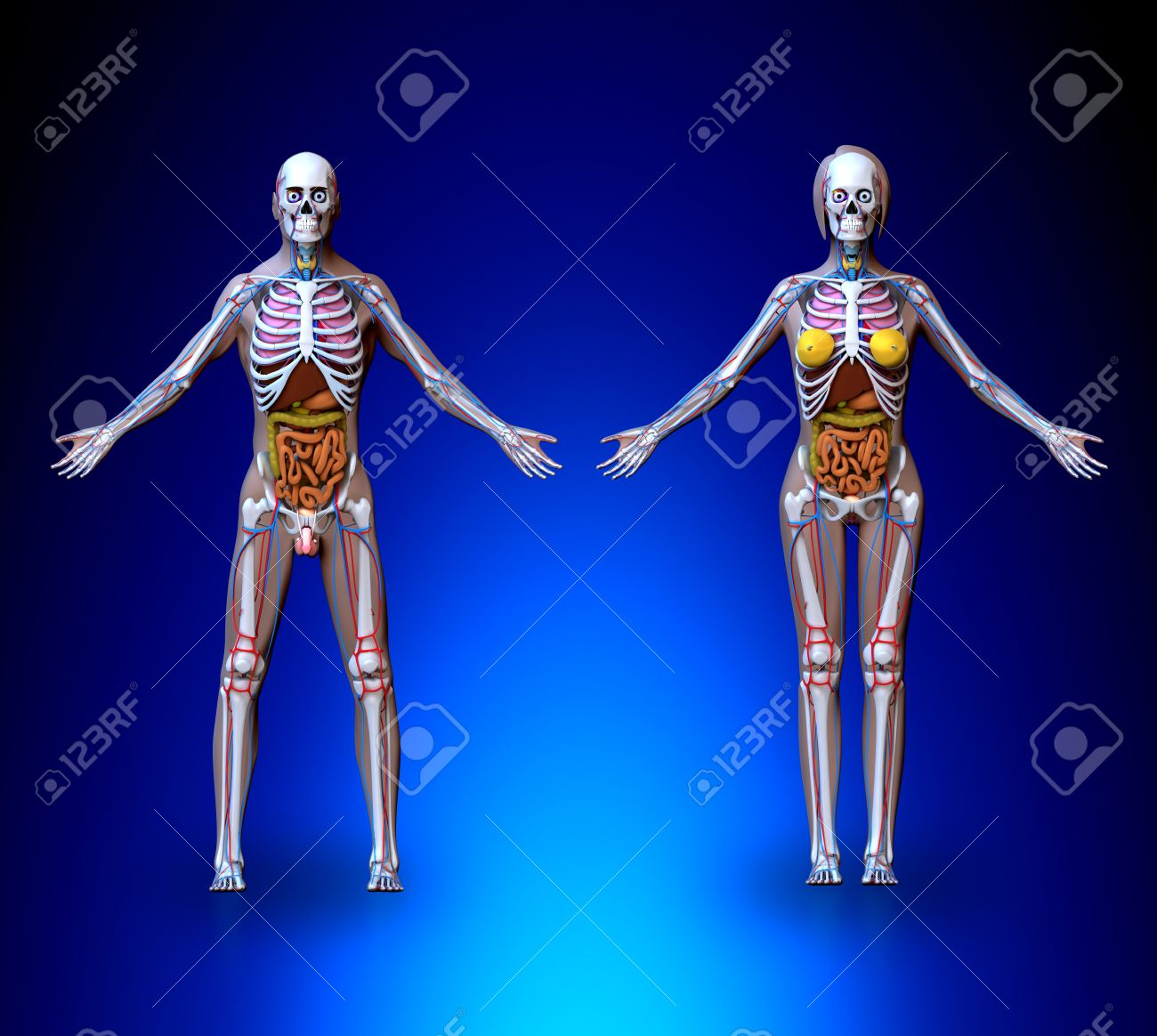 Anatomy Male Female Organs Circulatory System Skeleton Stock Photo ...